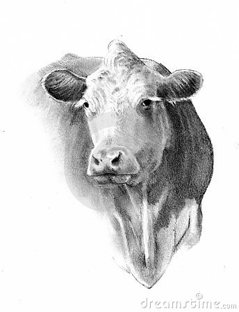 Pencil Drawing of Cow Head