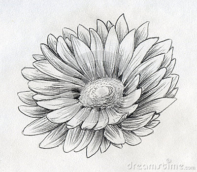 Daisy flower pencil sketch