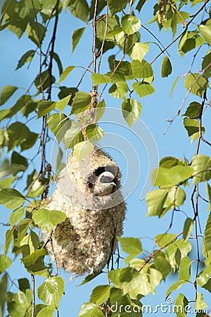 Free Penduline Tit Stock Photos - 45093283