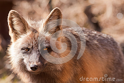 Penetrating gaze of an alert red fox, genus Vulpes