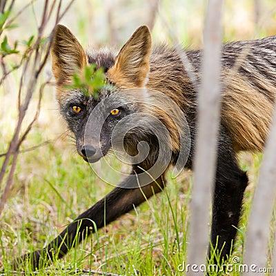 Penetrating gaze of an alert red fox genus Vulpes