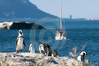 Penguin colony Cape Town
