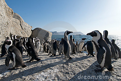 Penguin Colony Simonstown South Africa