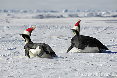 Penguin couple at Christmas day