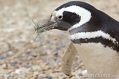 Penguin with grass in beak