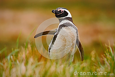 Penguin in grass. Penguin in the nature. Magellanic penguin with lift up wing. Black and white penguin in wildlife scene. Beautifu Stock Photo