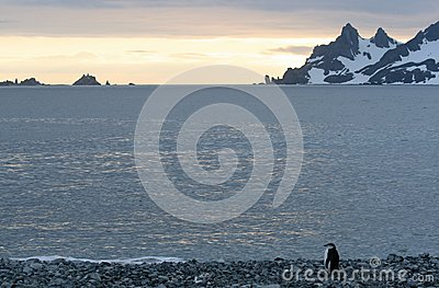 Penguin in Half Moon Bay