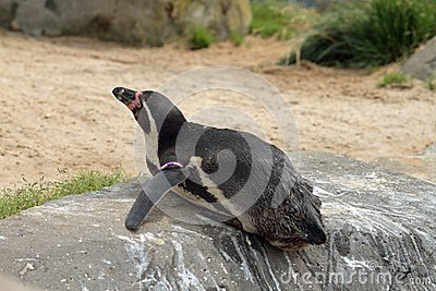 Penguin laying down