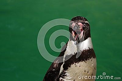 Penguin, open beak