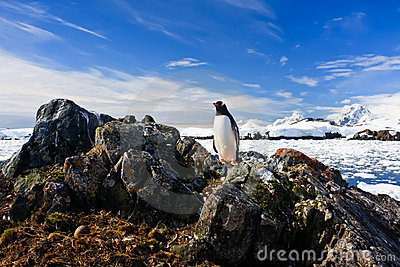 Penguin protects its nest
