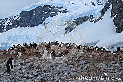Penguin Rookery