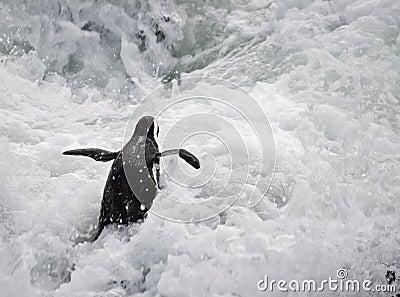 Penguin in rough sea