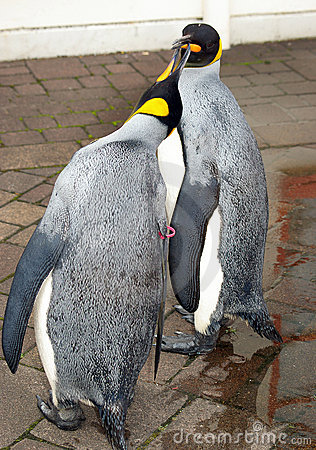 Penguin royalin