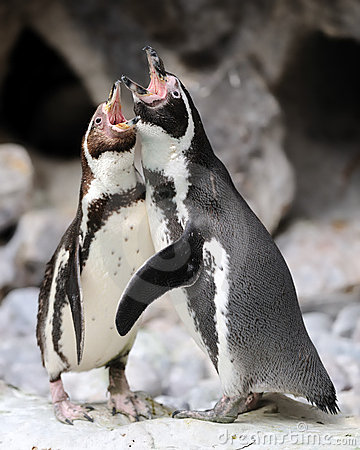 Penguin singing duet