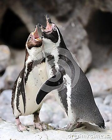 Penguin singing duet