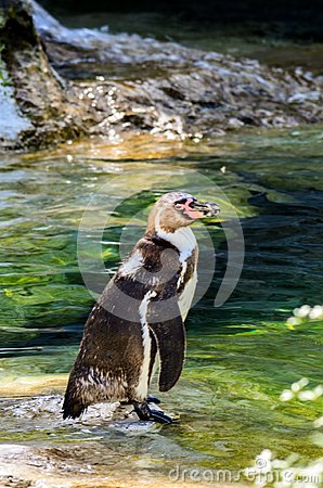 Free Penguin Stepped In The Water Royalty Free Stock Images - 103148139
