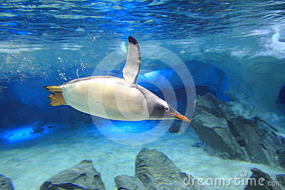 Penguin underwater