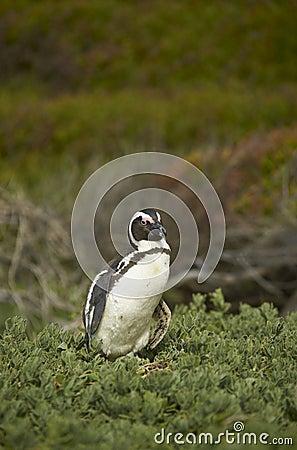 Penguin in Vegetation