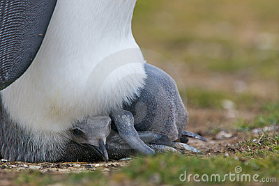 Penguin Watching Over Hatchling