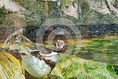 Penguin in water tank