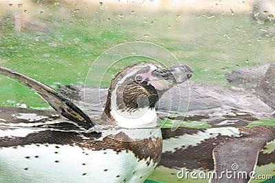 Penguin in a water tank