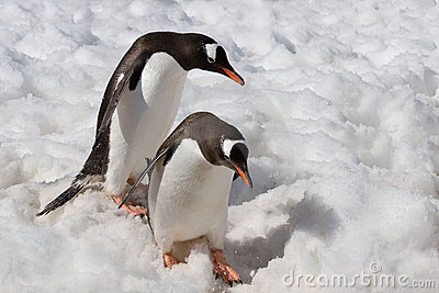 Penguins descending carefully