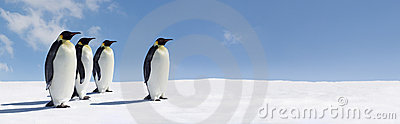 Penguins in icy panorama