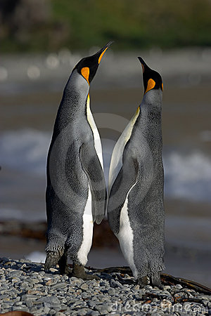 Free Penguins Love Royalty Free Stock Photography - 1611947