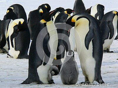 Penguins Standing On The Snow During Daytime Free Public Domain Cc0 Image
