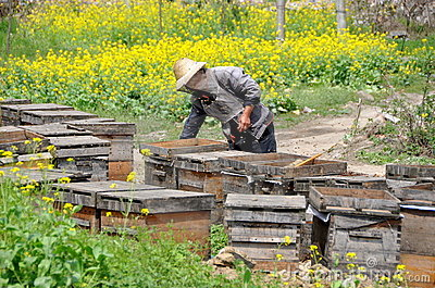 Pengzhou, China: Beekeeper with Hives Editorial Stock Image