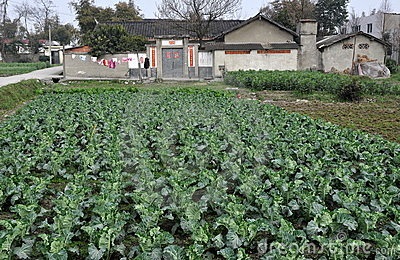 Pengzhou, China: Cabbages and Farm Editorial Stock Image