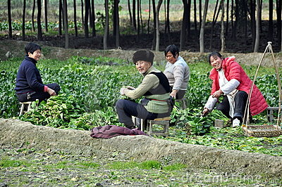 Pengzhou, China: Family Harvesting Bok Choy Editorial Stock Image
