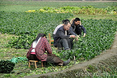 Pengzhou, China: Farm Family Working in Field Editorial Photography