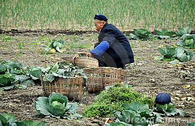 Pengzhou, China: Farmer Harvesting Cabbages Editorial Stock Image