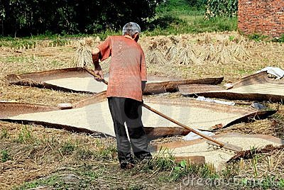 Pengzhou, China: Farmer Raking Rice Grains Editorial Stock Image