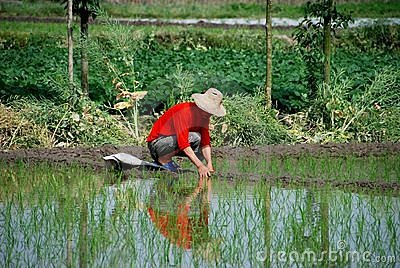 Pengzhou, China: Farmer in Rice Paddy Editorial Photo