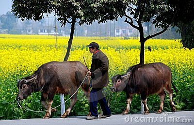 Pengzhou, China: Farmer Walking Water Buffalo Editorial Stock Image