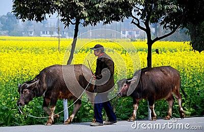 Pengzhou, China: Farmer Walking Water Buffalo Editorial Stock Image