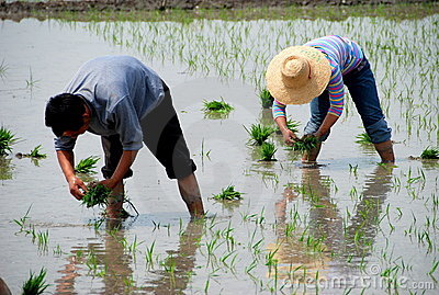 Pengzhou, China: Farmers Planting Rice Editorial Photography