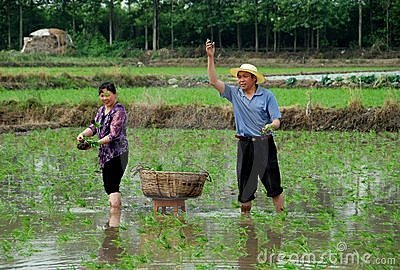 Pengzhou, China: Farmers Planting Rice Editorial Stock Photo