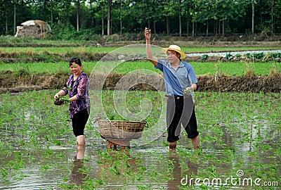Pengzhou, China: Farmers Planting Rice Editorial Stock Photo