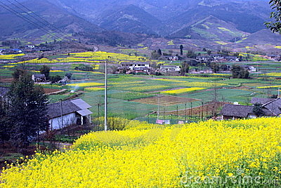 Pengzhou, China: Fields of Yellow Rapeseed