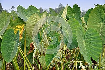 Pengzhou, China: Giant Taro Leaves
