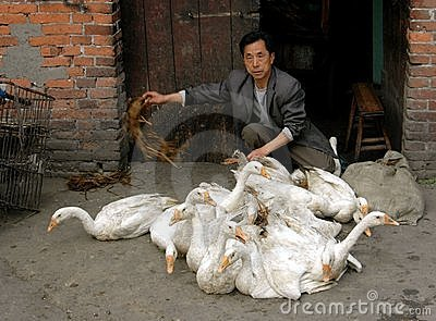 Pengzhou, China: Man with Flock of Ducks Editorial Photography