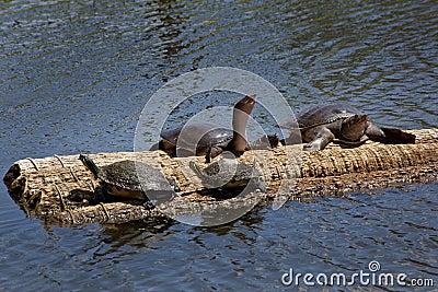 Penisula Cooter & Florida Softshell Turtles