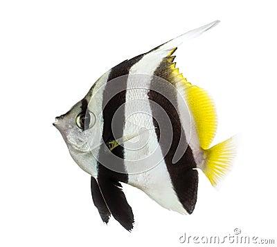Free Pennant Coralfish, Heniochus Acuminatus, Stock Images - 38857924