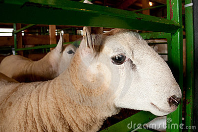 Penned Sheep (Ovis aries)
