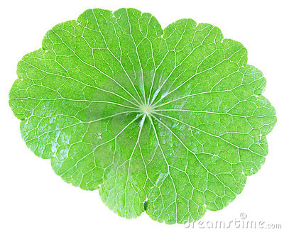 Pennywort Whole