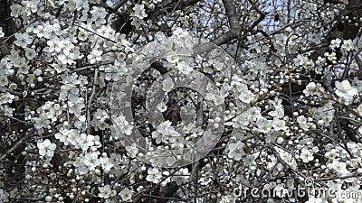Pentola lenta dei rami di albero con i fiori della ciliegia della molla Videoripresa stock footage
