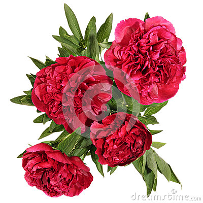 Free Peonies Stock Images - 43660314